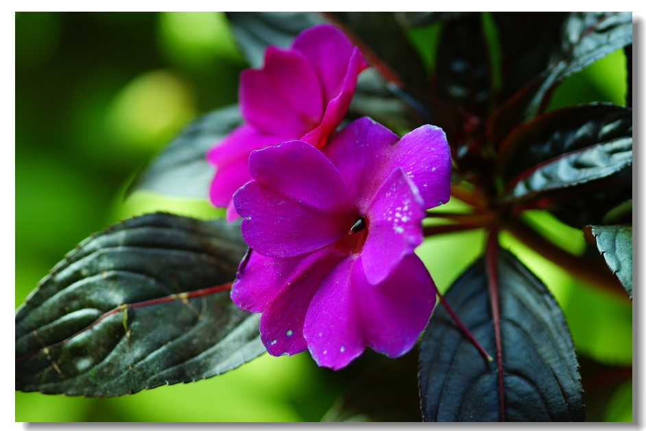 非洲凤仙花的种植技巧是什么