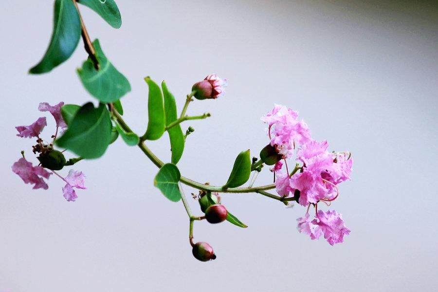紫薇修剪的方法及注意事项是什么