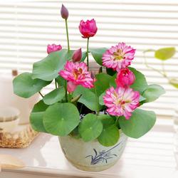 盆栽荷花的方法与注意事项有哪些