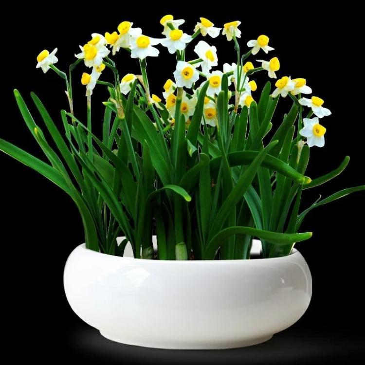 水仙花的栽培管理要点是什么