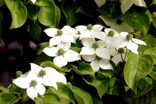 四照花的习性及栽培要点是哪些