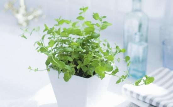 薄荷盆栽的方法和要点是哪些