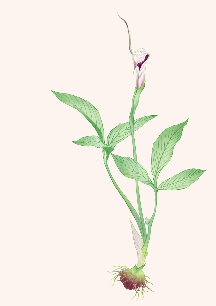 半夏的种植养护:半夏种茎的播种方法是什么
