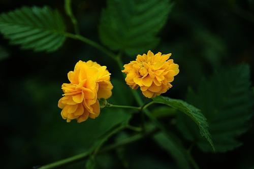 棣棠花的栽培要点是什么