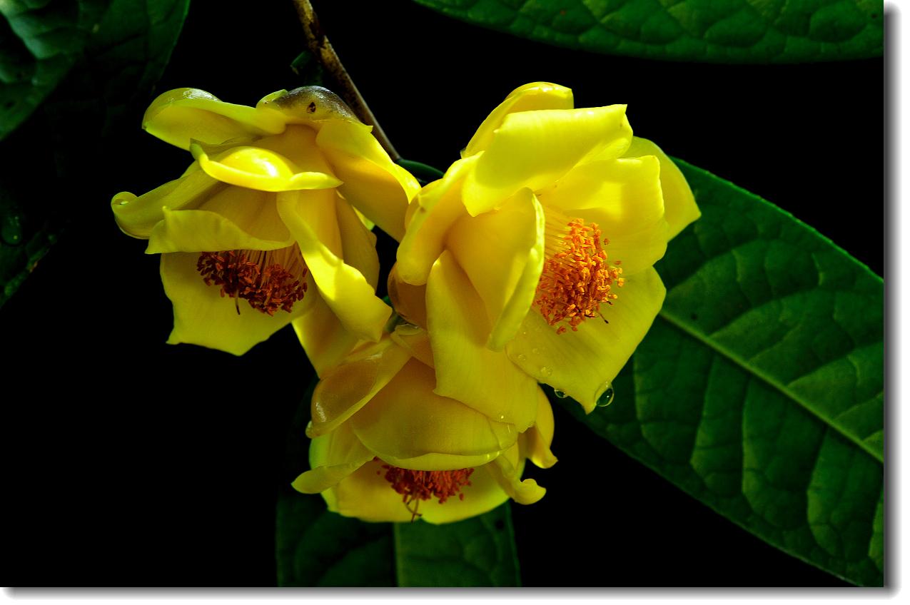金茶花的栽培要点是哪些