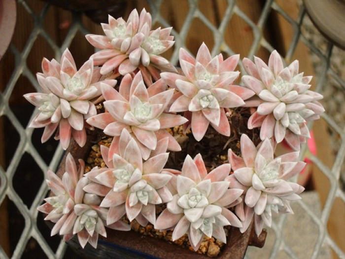 多肉白菊的养殖方法和注意事项是哪些
