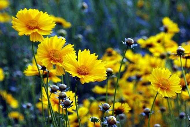 金鸡菊的栽培要点有哪些