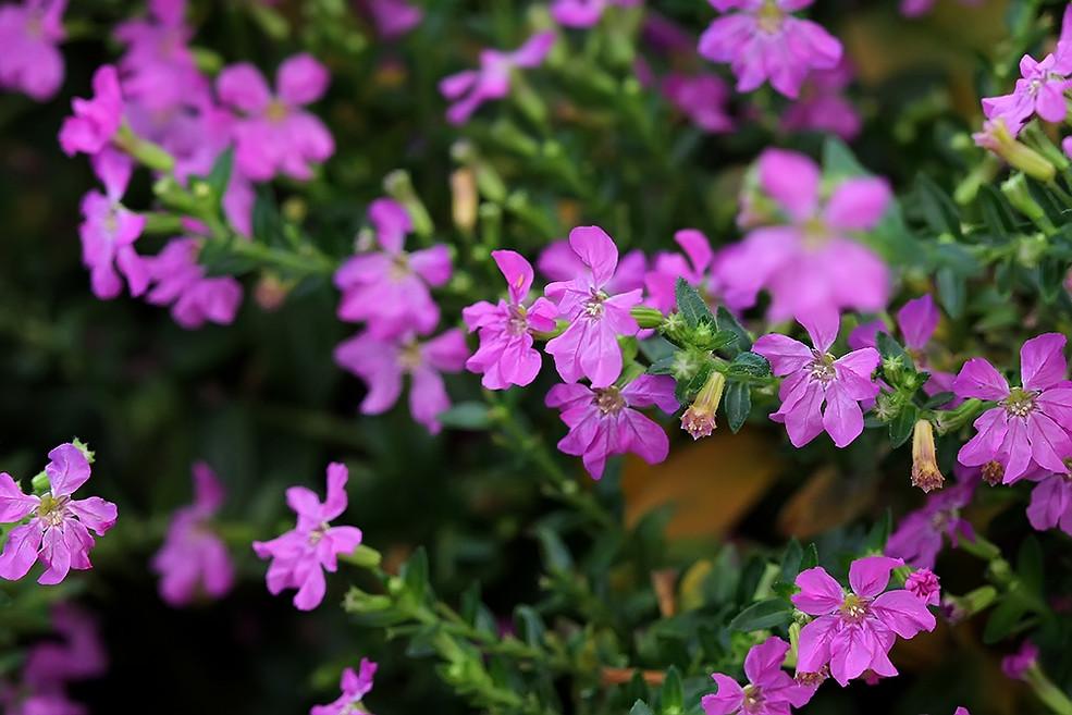 萼距花的栽培要点是哪些呢