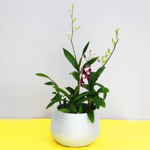 石斛兰的传说及花语是什么呢