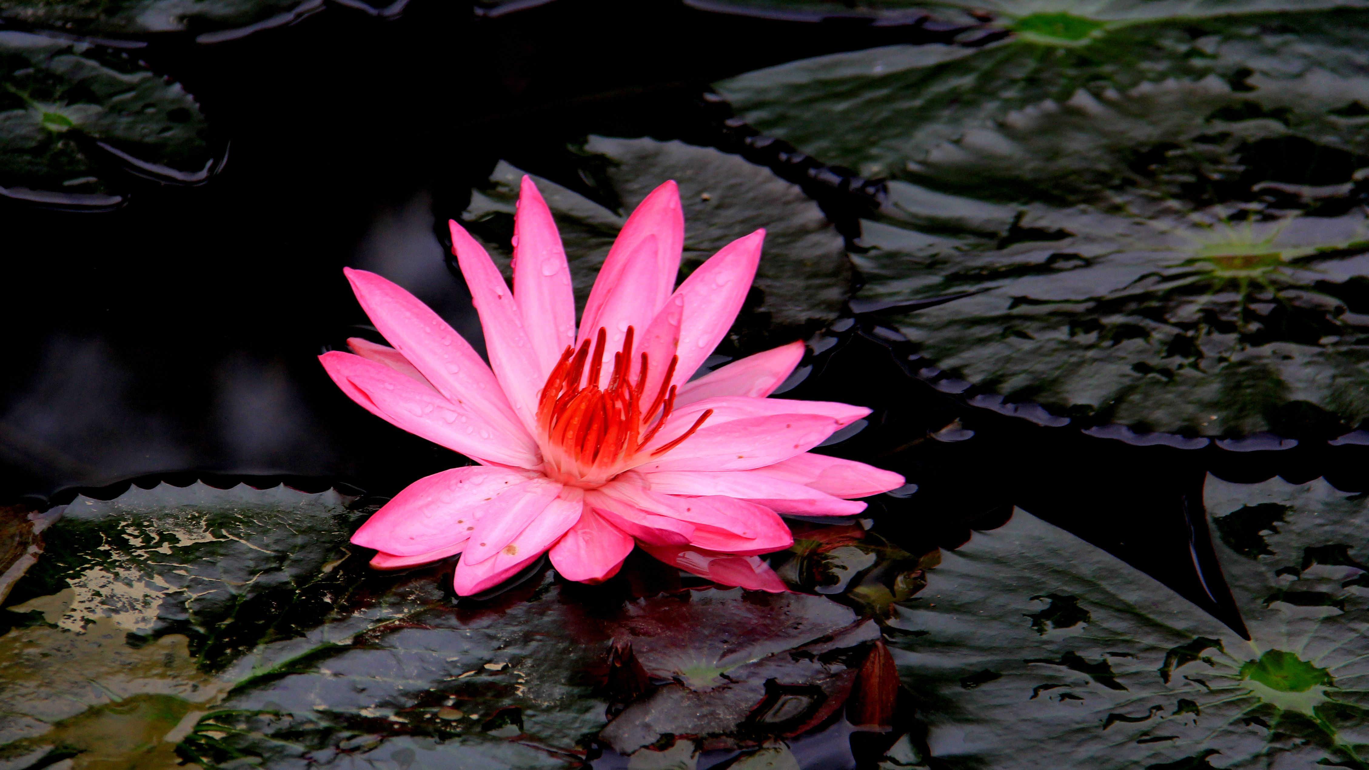 红睡莲的品种简介
