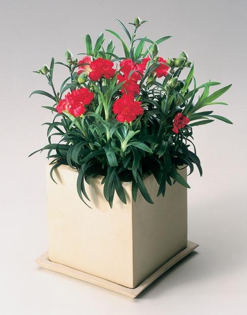 红色康乃馨的花语是什么呢