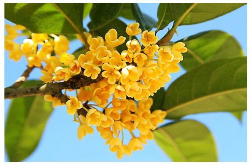 桂花不开花的原因及处理方法是什么