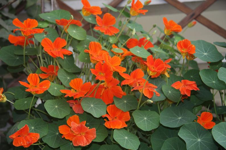 旱金莲的栽培与扦插方法是什么呢