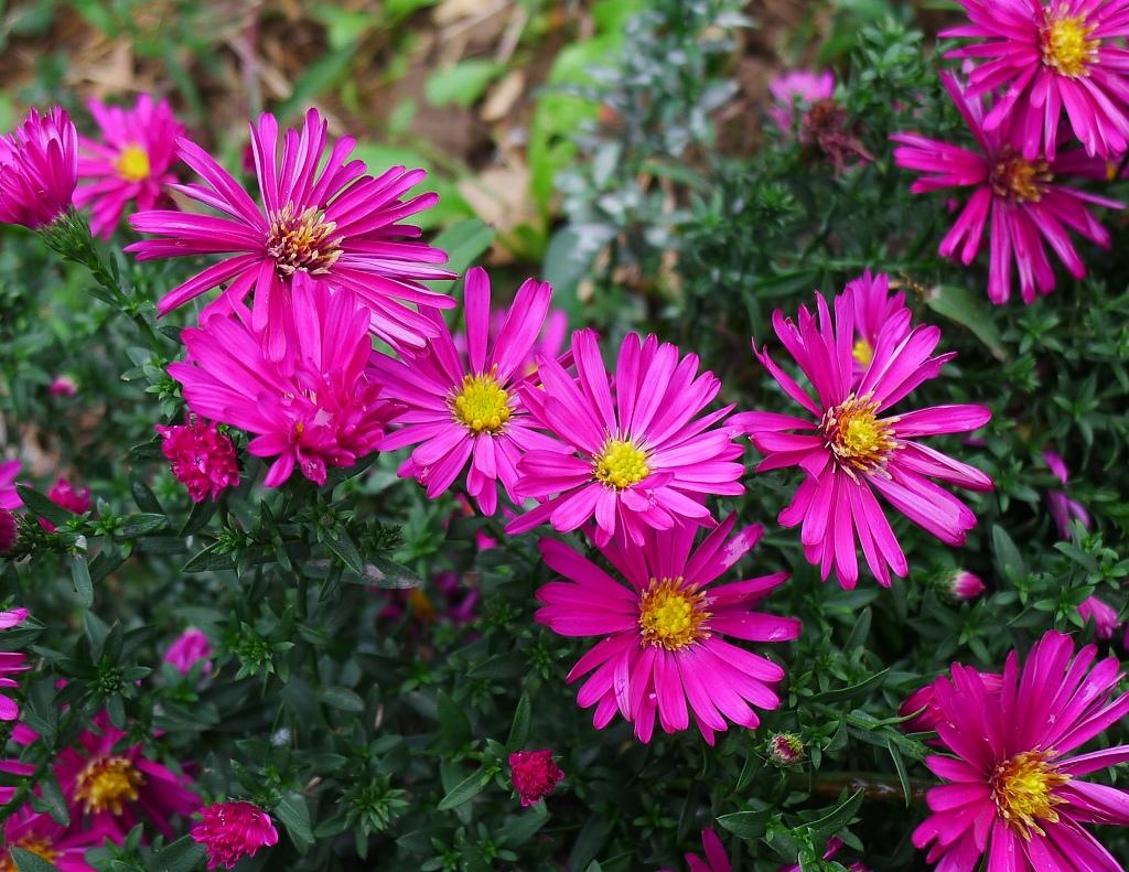 荷兰菊的品种简介