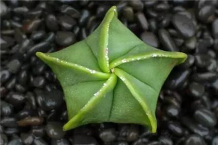 多肉植物琉璃鸾凤玉介绍及养殖方法是什么