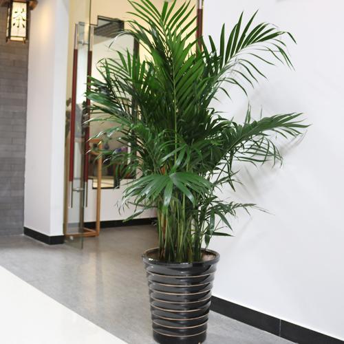 凤尾竹的盆栽管理五要点是什么