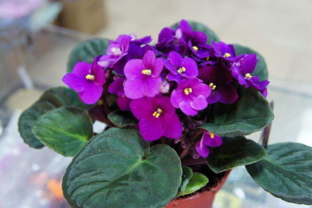 非洲紫罗兰的养殖方法有哪些