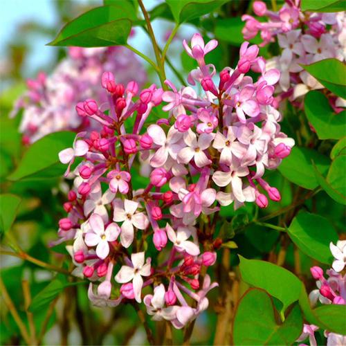 丁香花卉怎样繁殖