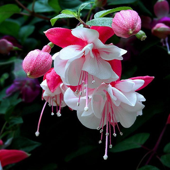 吊钟海棠夏季如何养护