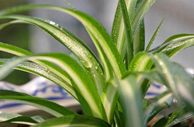 吊兰是一种什么植物?吊兰图片及简介