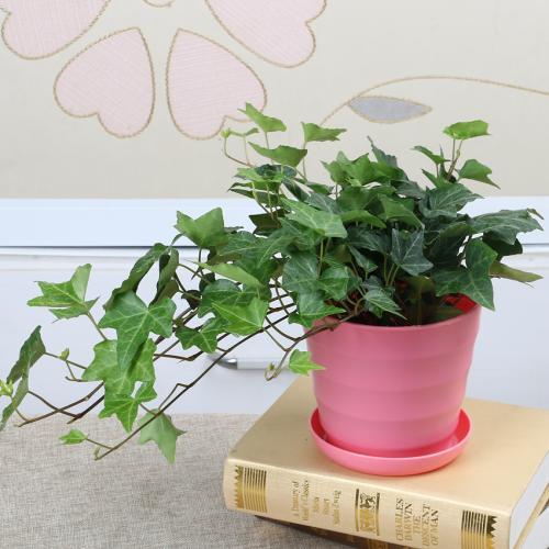 带你认识常春藤,常春藤的花语是什么