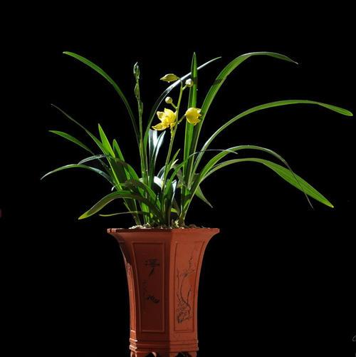 兰花叶子发黄发黑怎么办?兰花养护的窍门!