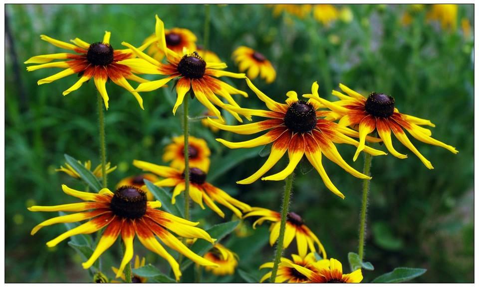 花卉大全:黑心菊