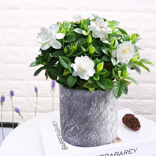 家里的盆栽栀子花怎么养