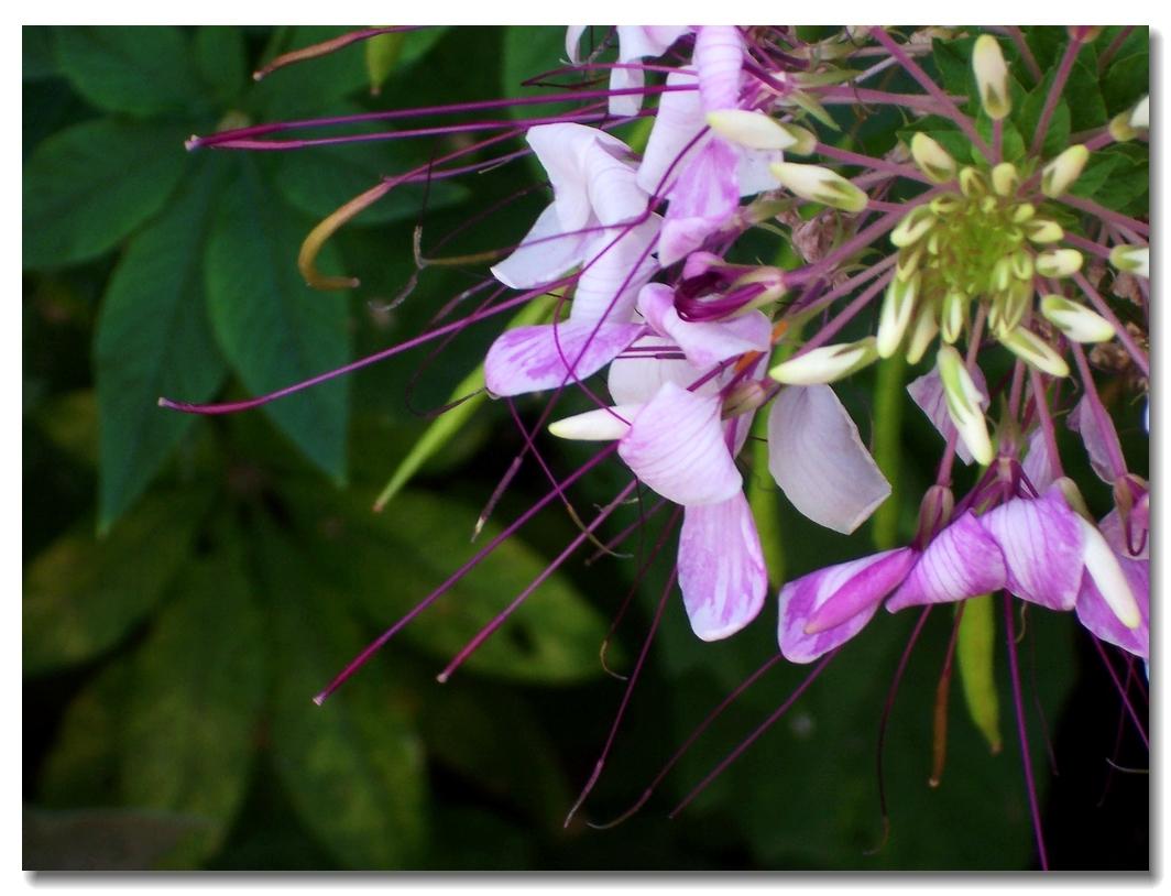 凤尾花的花语是什么?怎么养殖?