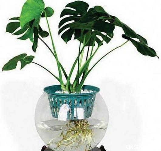 龟背竹有什么功效如何水培?