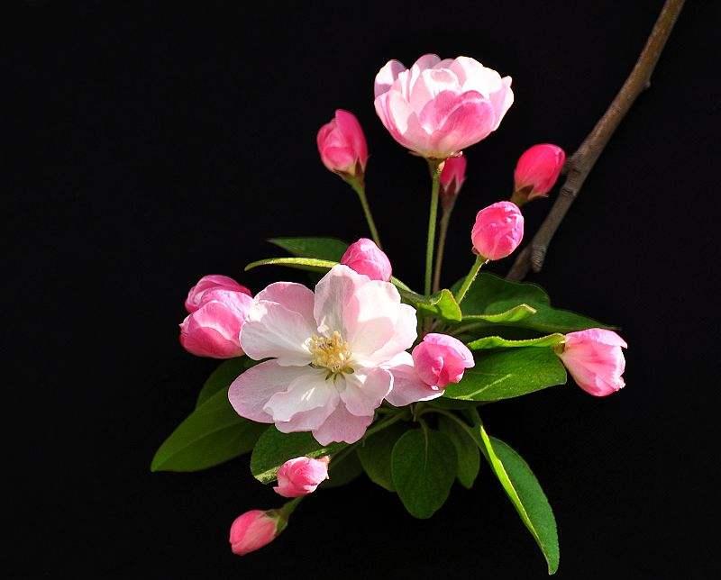 海棠花只长叶不开花是什么原因