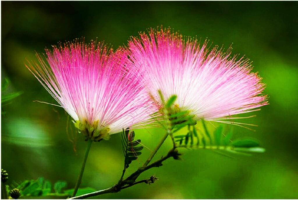 合欢花的花语是什么?它的药用价值和生长习性是怎样的