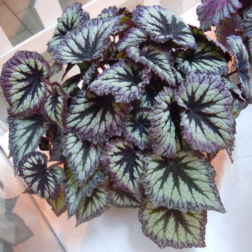 常见室内观叶植物具体养殖办法是什么