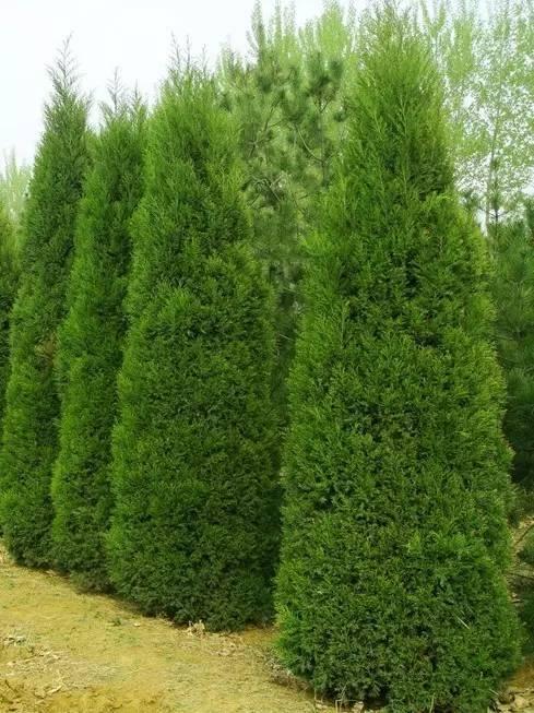 柏类常青树木如何修剪
