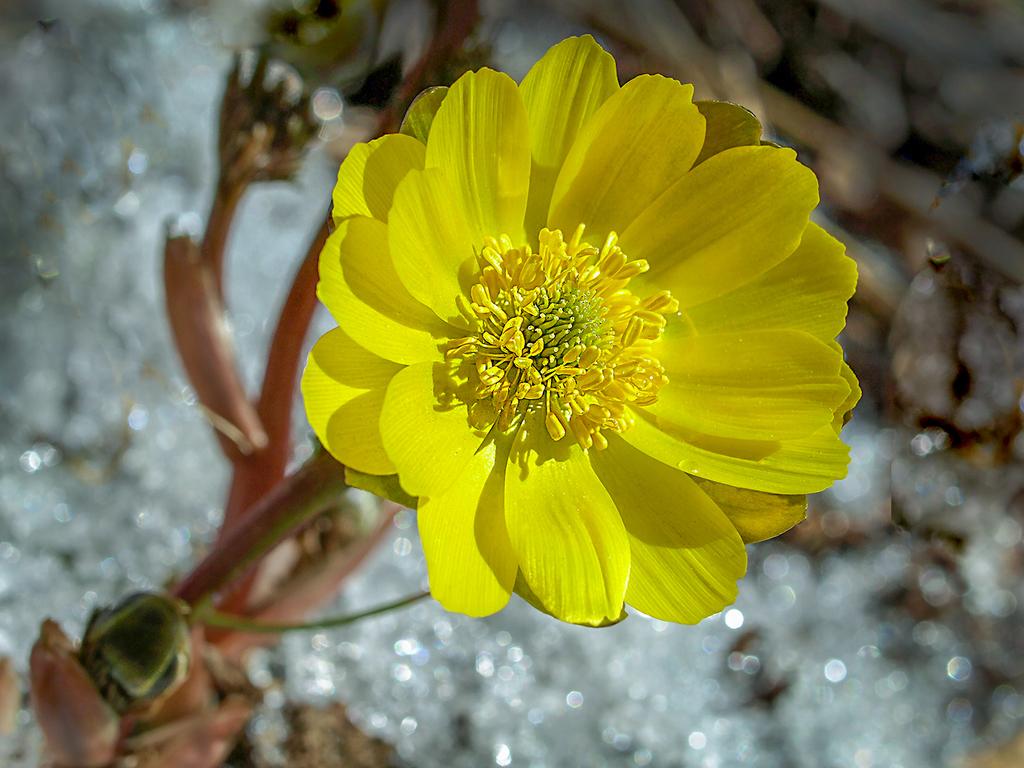 侧金盏花的栽种养护知识有哪些