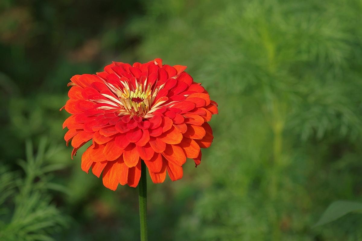 花卉大全:百日菊