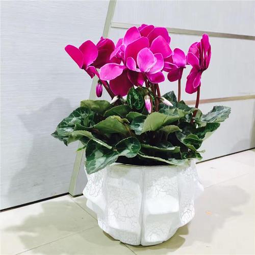春节之花——仙客来