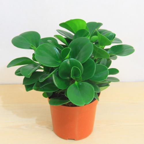 豆瓣绿在夏天如何养护|怎么才能把豆瓣绿养的肥绿绿的