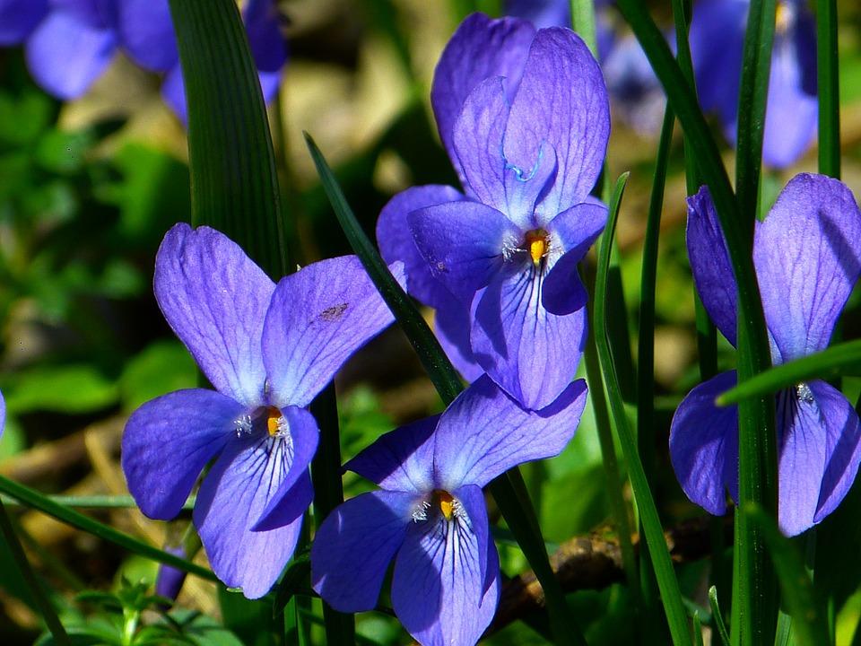 金牛座的幸运花是什么?原来是紫罗兰