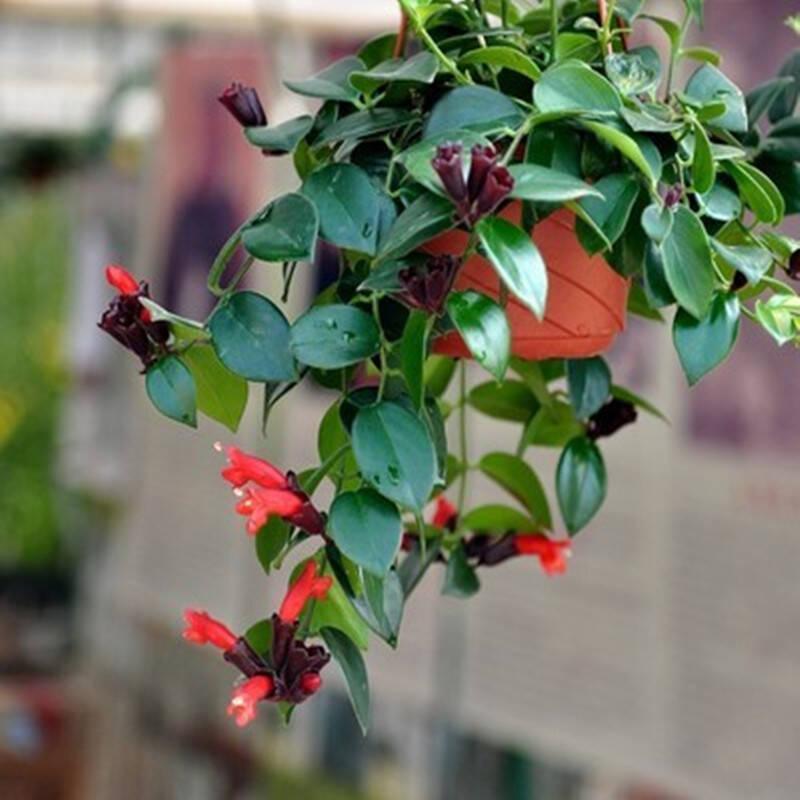 常见花卉——口红吊兰