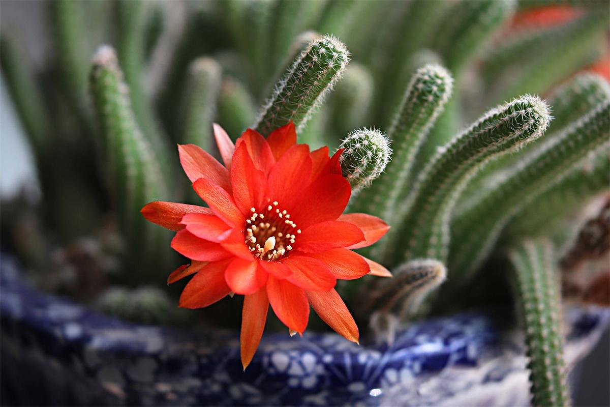 6种容易开花的仙人掌,新手也能养得好
