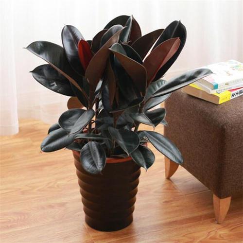 10种养在客厅和会议室的大型盆栽植物是哪些