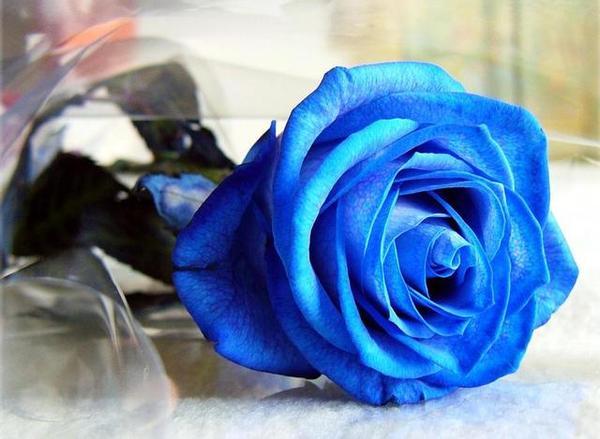 常用的鲜切花——蓝色妖姬