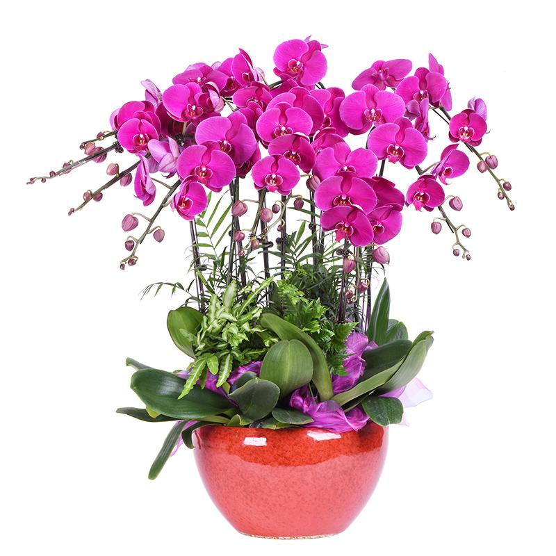 常用的鲜切花——蝴蝶兰