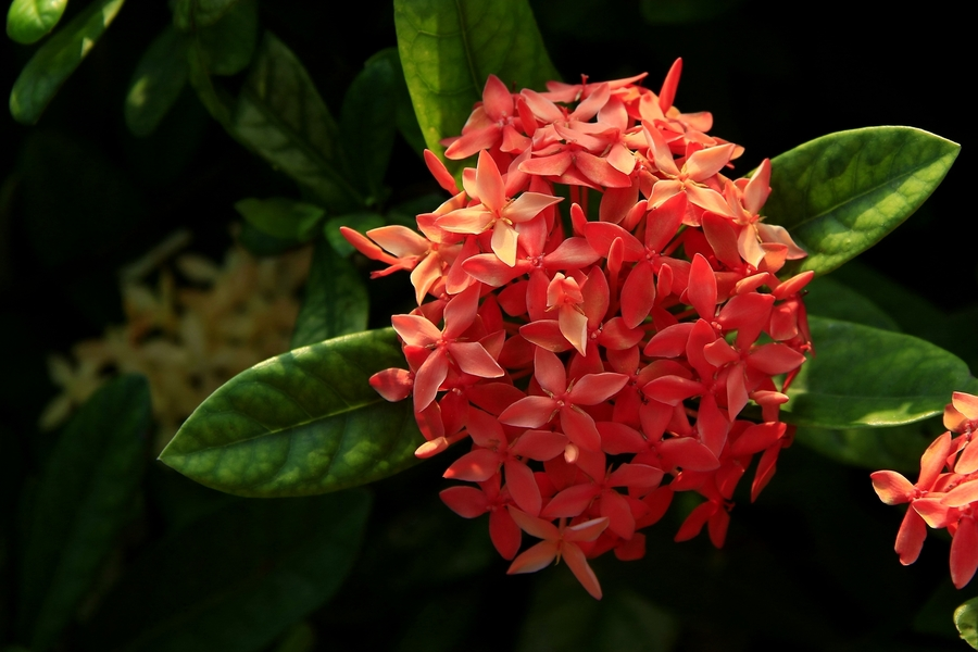 龙船花盆栽怎么养?龙船花的养殖方法和注意事项