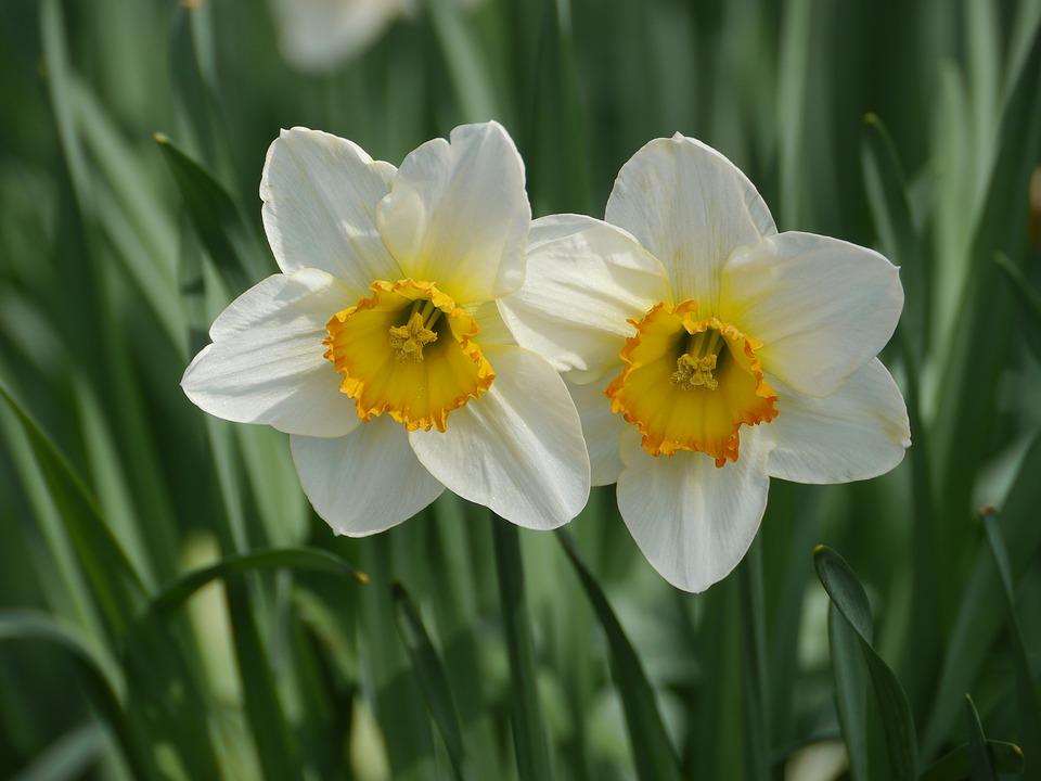 水仙花的品种简介