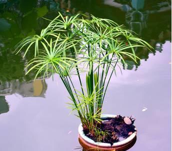 水竹为什么会叶子发黄_水竹叶子发黄怎么办
