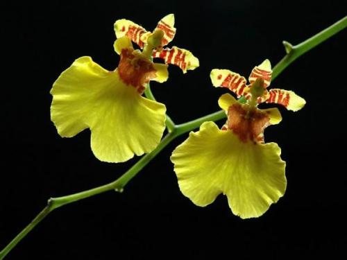 文心兰的花语是什么