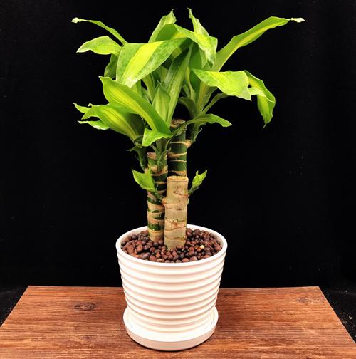 巴西木的栽培与养护技巧是什么