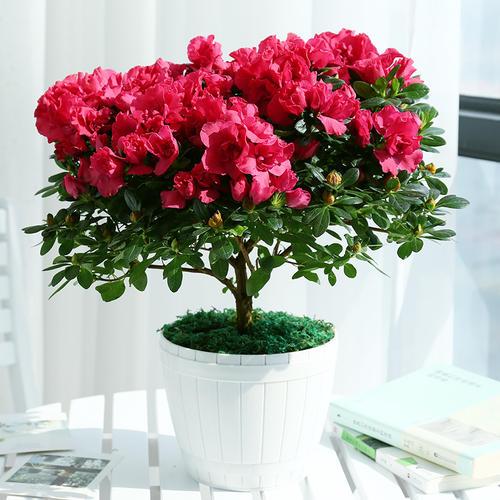 杜鹃花的栽培方法是什么